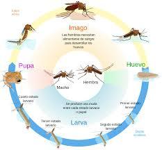 ciclo reprodutivo